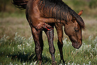 Wild horses have amazing powers to heal from serious injuries after brutal fights and flights.<br /> Chasing through the night in a thunderstorm, some horses from the Gila herd got tangled in a barbed wire fence.