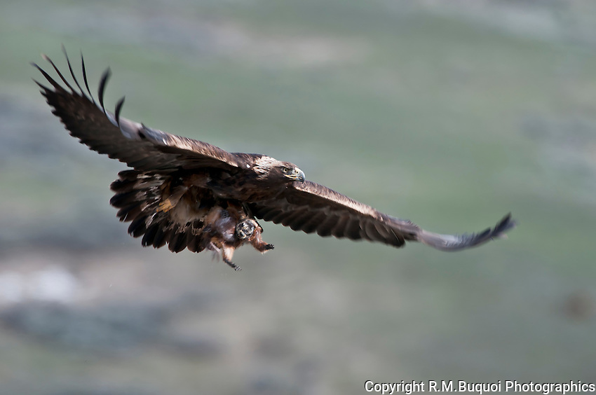 Golden Eagle in flight with prey