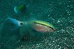 Dashdot goatfish (Parupeneus barberinus)