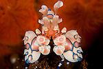 Harlequin shrimp: Hymenocera elegans