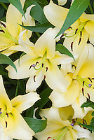 Lilium 'Yelloween' OT Oriental Trumpet hybrid (chartreuse yellow) lily