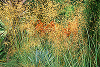 Grass, Stipa gigantea, texture tapestry in drought tolernant Califromia garden