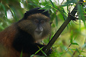 golden monkey (Cercopithecus kandti) in Virunga, Rwanda
