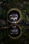 European polecat (Mustela putorius) wild