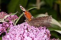 Tagpfauenauge, Tag-Pfauenauge, Blütenbesuch auf Schmetterlingsflieder, Buddleja, Sommerflieder, saugt Nektar, Aglais io, Inachis io, Nymphalis io, peacock moth, peacock