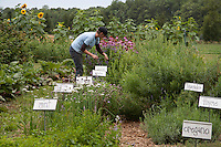 A gardener tending the plants in her herb garden.