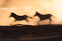 Botswana, Magkadikadi Pan National Park, Boteti River, Burchell's zebras (Equus burchellii) running, silhouettes against sky at sunset, motion blur
