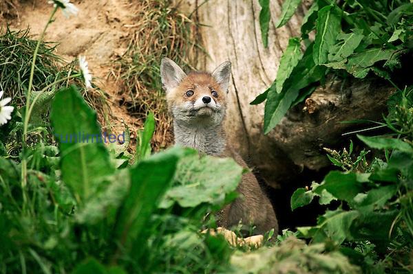 Young Red Fox at den (Vulpes vulpes), France.