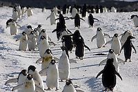 Penguin colony, Crozier, Antarctica.