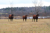 Three beef animal standing in pasture  along edge of lake in late fall