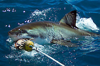 GANSBAAI, SOUTH AFRICA, DECEMBER 2004. A Great White goes for the bait. Brian Mc Farlane organises Great White Shark cage diving tours out of Gansbaai. Gansbaai is one of the best places in the world to see the Great white in its natural habitat. Photo by Frits Meyst/Adventure4ever.com