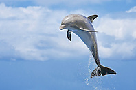 common bottlenose dolphin, Tursiops truncatus, calf leaping, Atlantic Ocean