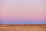 Distant horses graze in the pasture in Cascade County, Montana during the cool pink and purple pastel sunrise hues.