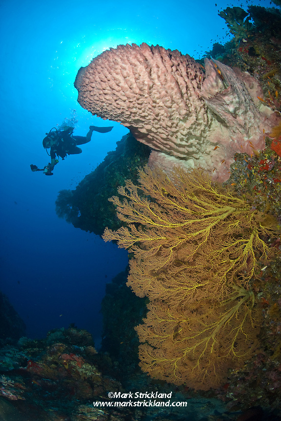 A diver descends near thriving Gorgonian Corals and Barrel Sponge. Narcondam Island, Andaman Islands, India, Andaman Sea