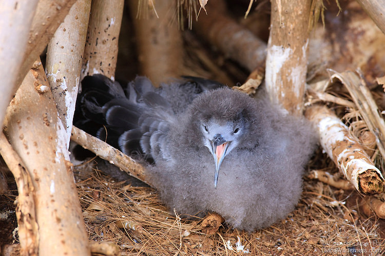 juvenile wedge-tailed shearwater (Puffinus pacificus) looks out from ...