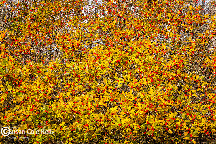 Winterberry in Acadia National Park, Maine, USA