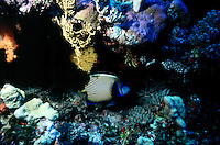 FISH<br /> Emperor Angelfish<br /> The Emperor Angelfish is only found in South Pacific. Most Angelfish commonly found in shallow reefs, juvenile specimens clean other marine life inclduing morays, grunts, jacks, surgeonfishes and wrasses.