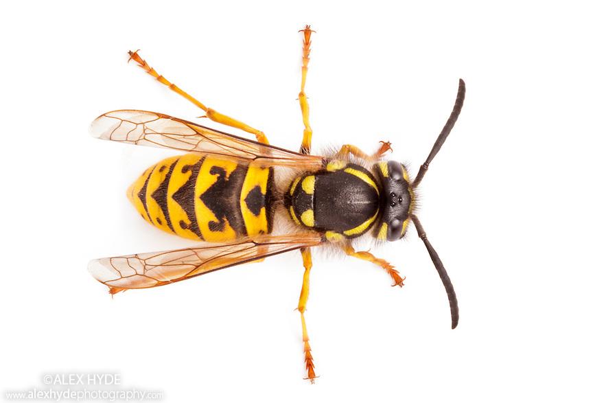 German Wasp {Vespula germanica} photographed on a white background, Derbyshire, UK. September.