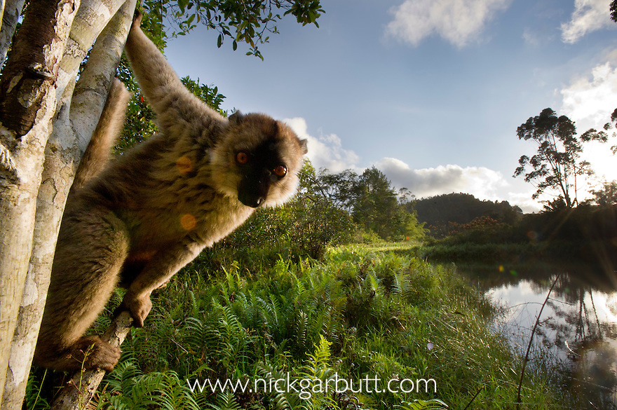 Male Red-fronted Brown Lemur (Eulemur rufus) at forest edge. Near Andasibe-Mantadia National Park, Madagascar.