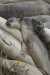 elephant seal juveniles sleeping at Ano Nuevo SR