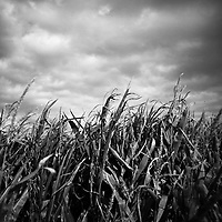 Corn Field, Suffolk | Black and White