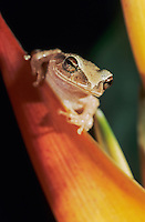 Puerto Rican Coqui, Eleutherodactylus coquí, adult on heliconia, El Yunque, Caribbean National Forest, Puerto Rico, USA