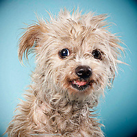 Scruffy terrier Brandy came into the shelter clearly not having had care from her owner. Shelter dogs on April 3, 2013.
