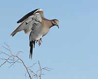 White-winged Doves descent..