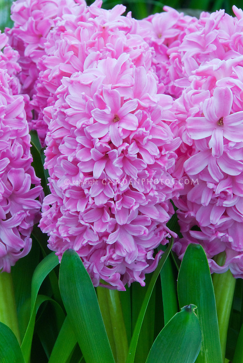Hyacinth Ibis in pink bloom in spring