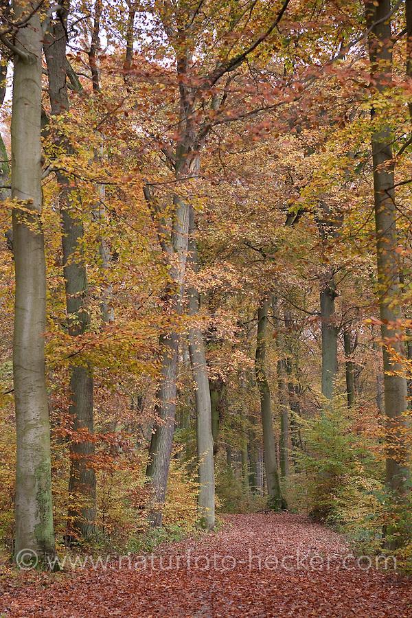 Herbstlicher Buchenwald, Waldweg, Rot-Buche, Buche, leuchtende Herbstfarbe, Herbstlaub, Fagus sylvatica, Common Beech