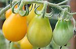 Unripened tomatoes on vine in garden