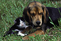 Beagle and tiny kitten just awake from a nap looking groggy and sweet