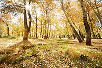 Deep wood photograph of breathtaking autumn scenery taken in Bu'erjin country, Xinjiang Province in China. Surrounded by big trees with stunning morning sunlight piercing through the branches.
