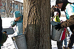 Groundworks Somerville taps trees on the Medford/Somerville campus to collect sap for maple syrup. (Joanie Tobin/Tufts University)
