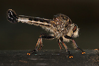 &quot;Obi-Wan never told you what happened to your father&quot; I ate em'! ;-)<br /> Giant Robber Fly from the &quot;dark side&quot;..