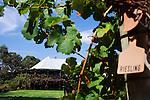 Vasse Felix winery at Wilyabrup.  Margaret River, Western Australia, AUSTRALIA.
