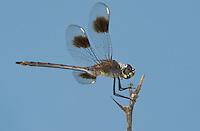 379080001 a wild female four-spotted pennant brachymesia gravida perched on a limb near bentsen rio grande valley state park texas