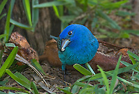 510370050 a wild male indigo bunting passerina cyanea feeds on small seed pods on south padre island texas