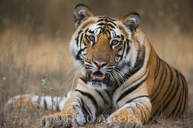 Bandhavgarh National Park, India; 17 months old Bengal tiger cub lying on creek bank, early morning, dry season