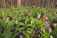 Bär-Lauch, Bärlauch, Bär - Lauch, Blätter vor der Blüte, Allium ursinum, Ramsons, Wood Garlic