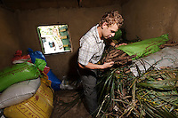 Rocco Falconer in a storeroom at a cassava processing factory run by Planting Promise, Newton, Freetown, Sierra Leone. Planting Promise is an organization dedicated to the development of education in Sierra Leone. Its aim is to bring opportunities to initiate self-run, self-supporting projects that offer real solutions to the difficulties facing the world's poorest country. They believe real and lasting development comes from below, from local projects that address specific needs, rather than large international models. To this end, they currently run five projects that aim to bring wealth into the country through business. The profits from these businesses are then used to support free education for children and adults...Through the combination of business with social progress, the charity hopes that they are providing real, lasting and profound changes for the better, by promoting sustainable and beneficial industry in the country, and putting it to the service to the needs of the people. As well as providing the income to fund the school, the farms will also be an example of successful commercial enterprise to teach the children in the school the viability of profit-making schemes that go beyond subsistence models, the only things the children of these desperately poor areas are accustomed to. By learning particular details of the challenges that they will face, the children will emerge from this school equipped to contribute in a real way to their society.