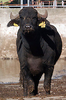 Riproduzione e allevamento di bufale da latte e bufali da carne..Reproduction and breeding of dairy buffaloes and buffalo meat....