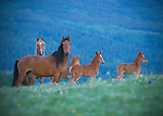horses mares and newborn foals in meadow of wildflowers, glacier blackfeet reservation, montana