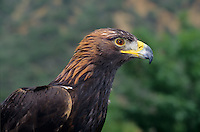 521099033 portrait of a captive golden eagle aquila chrysaetos a federally protected raptor that cannot fly and is cared for at a wildlife rescue facility in california