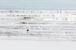A seagull walks in the water at the beach of Essaouira, Morocco.