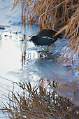 Common Moorhen (Gallinula chloropus), Sitting on an icy ditch edge. Severe winters are hard on birds, including Moorhens, but they are able to forage even where only a little water remains unfrozen. Feeding in short bursts, and then resting up. Omnivorous, feeds while swimming or walking on floating vegetation or land, especially damp Meadows. Habitat, Marsh, reed bed, small lakes.