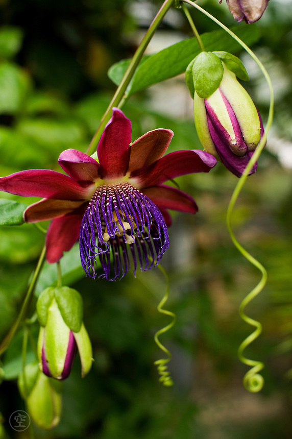 An open flower and buds - as well as stem and curling tendrils - of a purple passion flower (Passiflora phoenicia or alata)