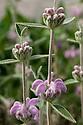 Phlomis italica, lilac-purple-flowered relative of Jerusalem sage (Phlomis fruticosa).