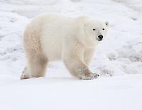 Polar Bear walking over a snowy hill