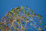Blue-headed parrots in a tree, Tambopata River region, Peru